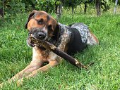 Mixed breed dog chewing on wooden stick on green grass in vineyards