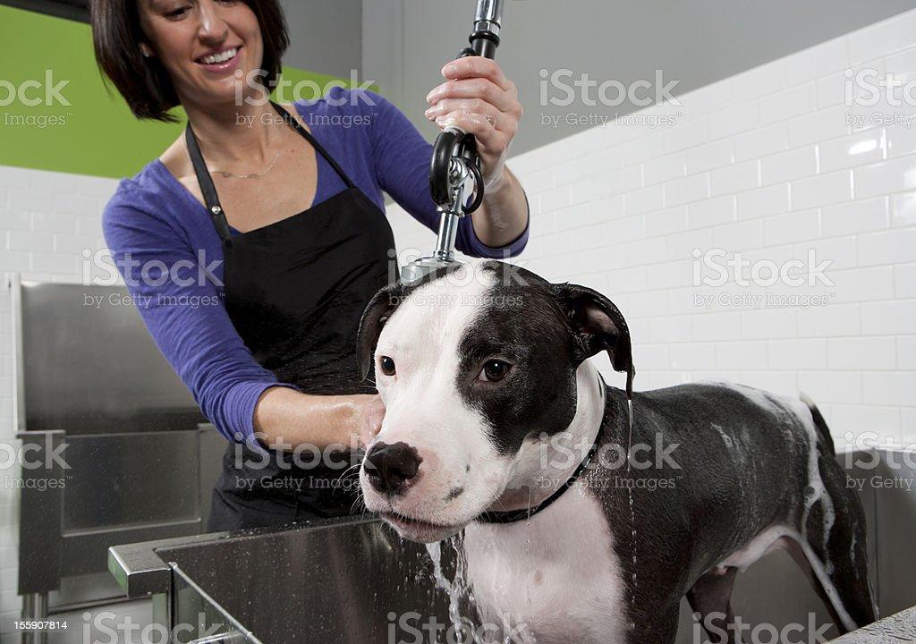 Mixed Breed Dog Getting a Bath at Self Service Dog Wash. royalty-free stock photo