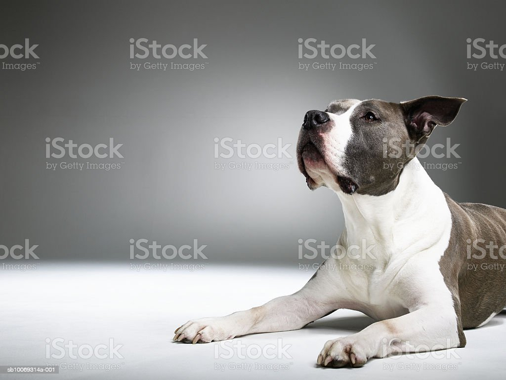 Mixed breed dog looking away, close-up royalty-free stock photo