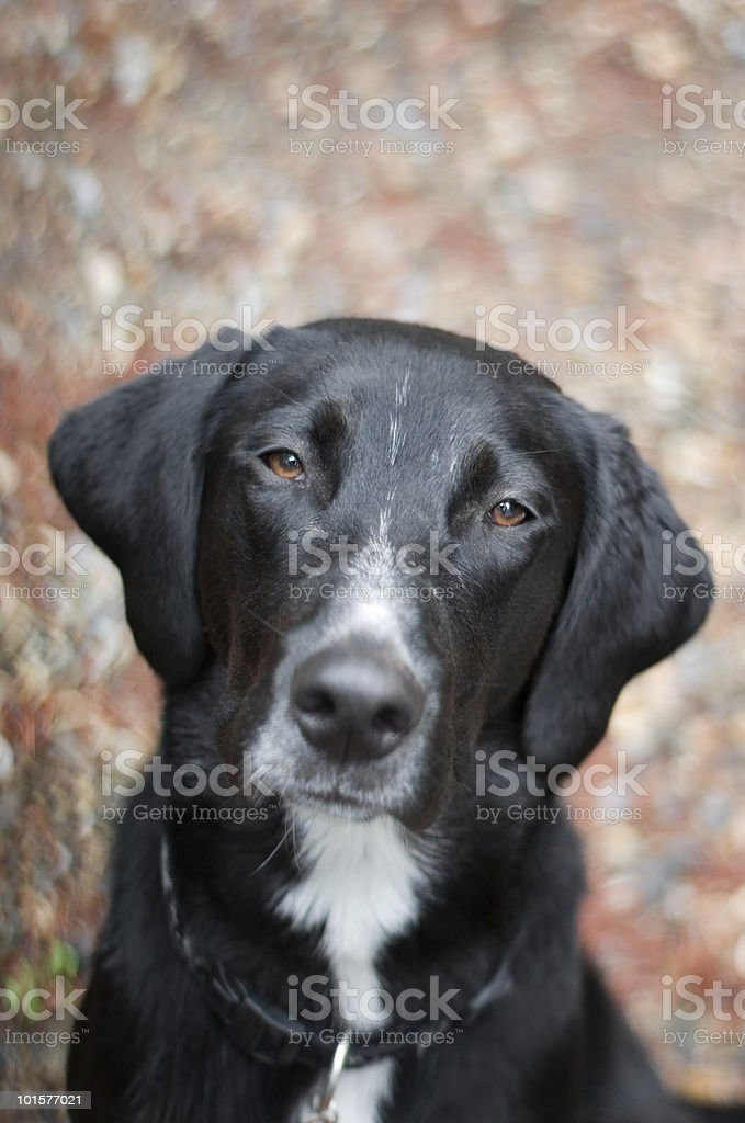 Mixed Breed Dog royalty-free stock photo
