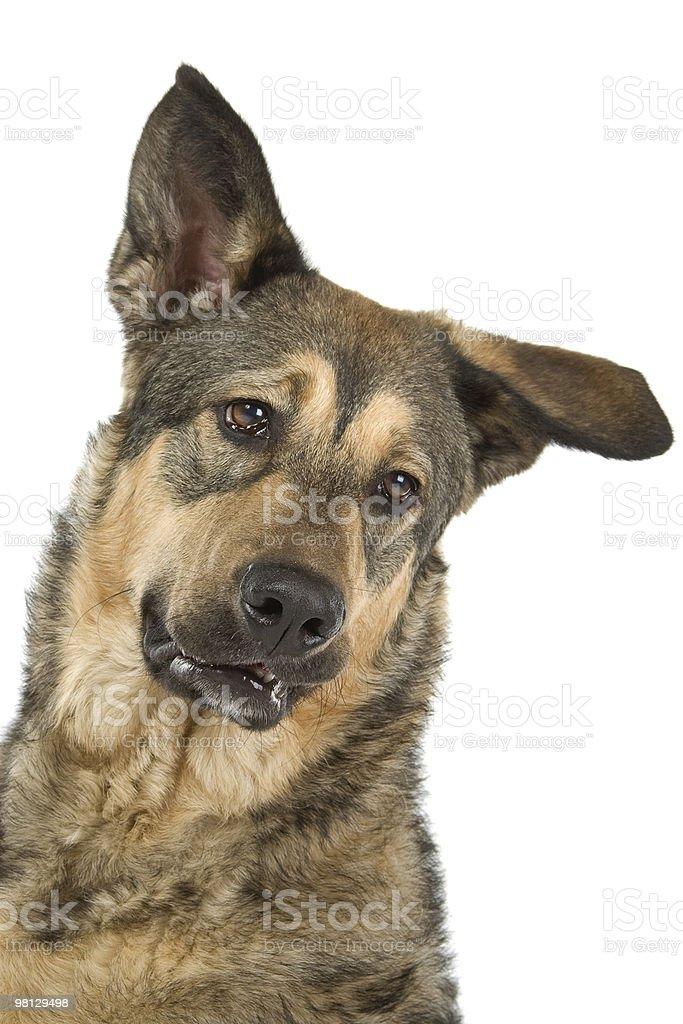 Mixed breed dog (half shepherd) royalty-free stock photo