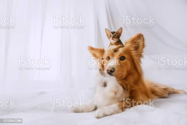 Mixed breed dog posing with a kitten and rabbit indoors picture id1210342288?b=1&k=6&m=1210342288&s=612x612&h=txygyqry8ji7ihpf4uorrmefdyks3zwdukjwx26gr70=