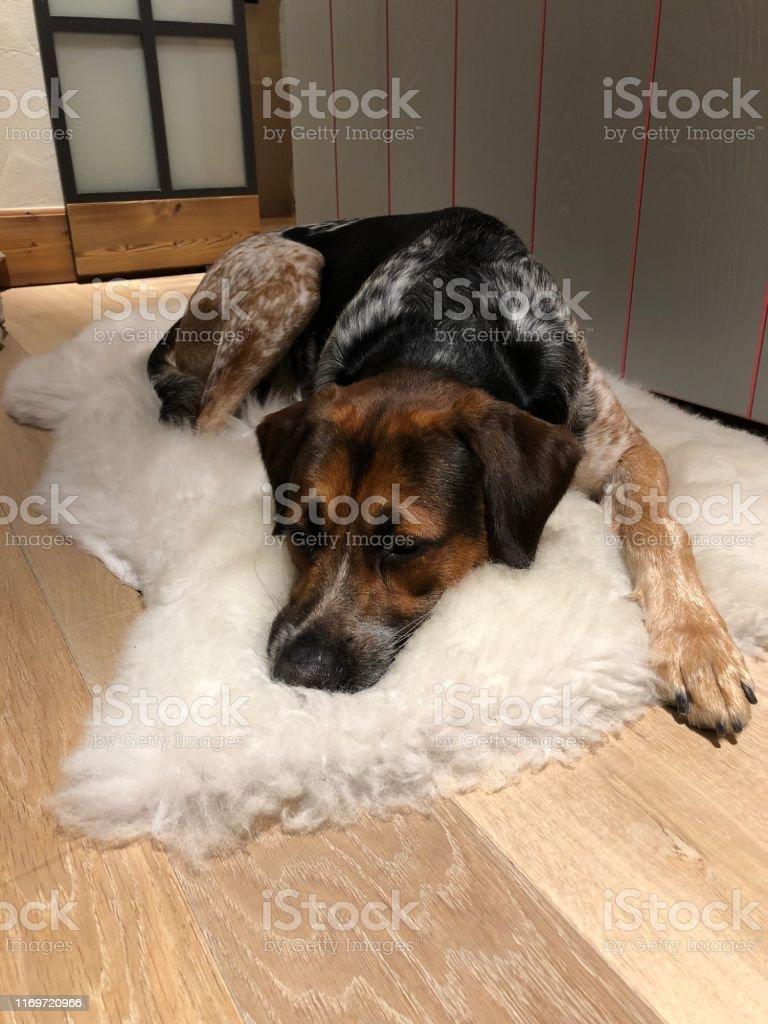 Mixed breed dog sleeping on sheep skin