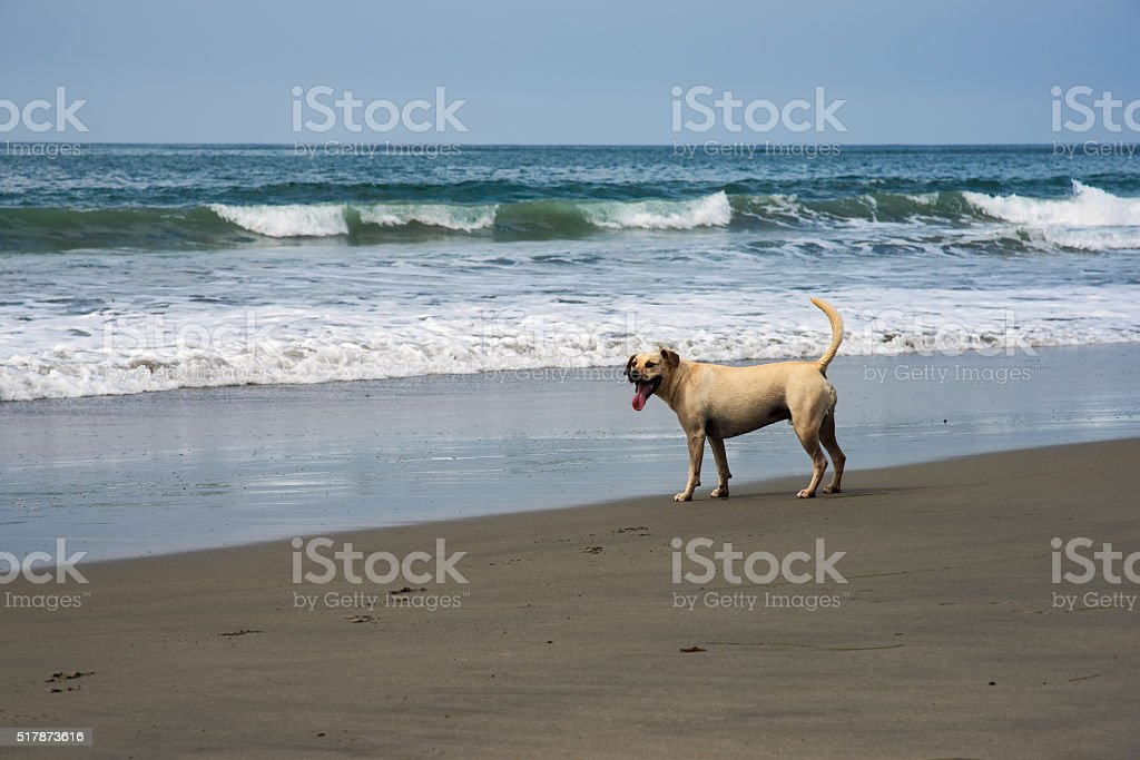 Mixed Breed Dog Standing on a Southern California Beach stock photo