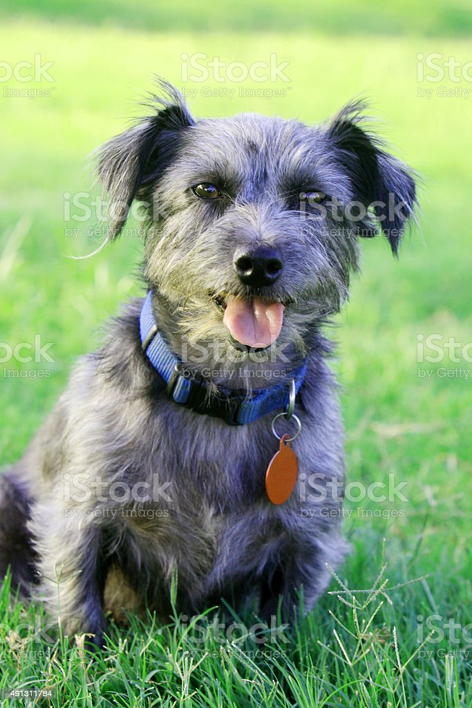 Mixed Breed Dog with Collar and Tags stock photo