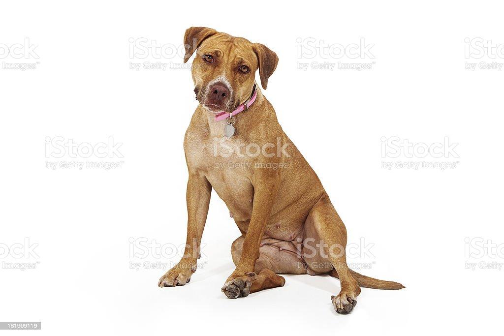 Mixed Breed Female Large Dog royalty-free stock photo
