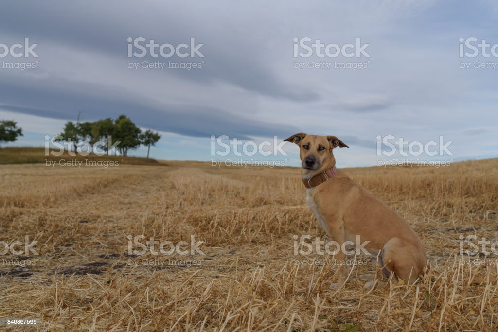 Mixed breed healthy dog in a field stock photo