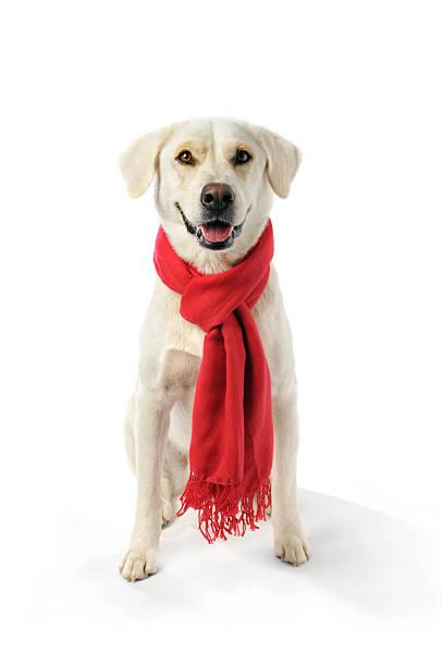 misturado raça labrador usar um lenço à volta do seu pescoço vermelho - exhaust white background imagens e fotografias de stock