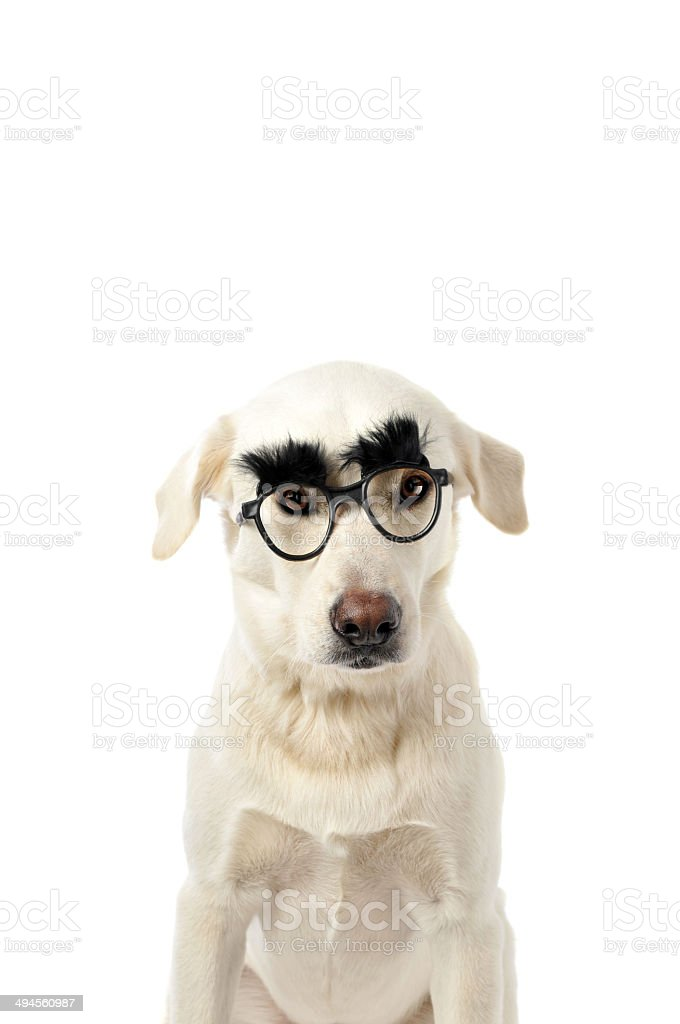 Mixed Breed Labrador Wearing Funny Glass as a Disguise stock photo