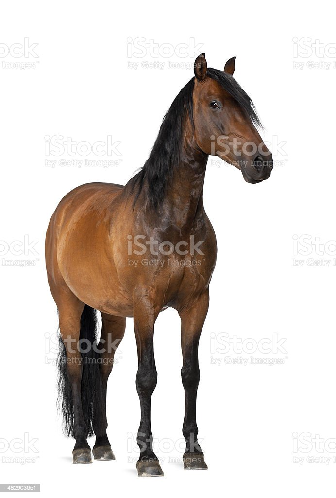 Mixed breed of Spanish and Arabian horse stock photo