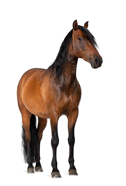 mixed breed of spanish and arabian horse - horse stock pictures, royalty-free photos & images