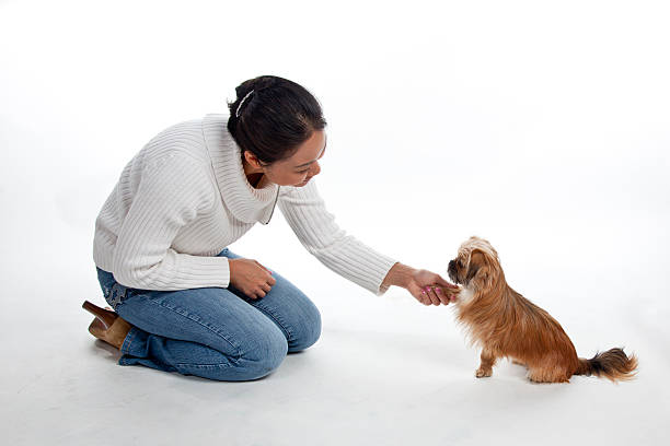 Mixed breed 'Porkie' shakes hands with owner stock photo