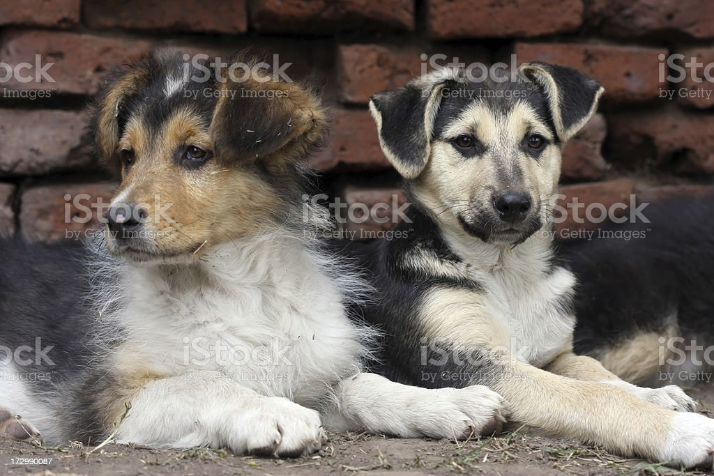 Mixed Breed Puppies stock photo