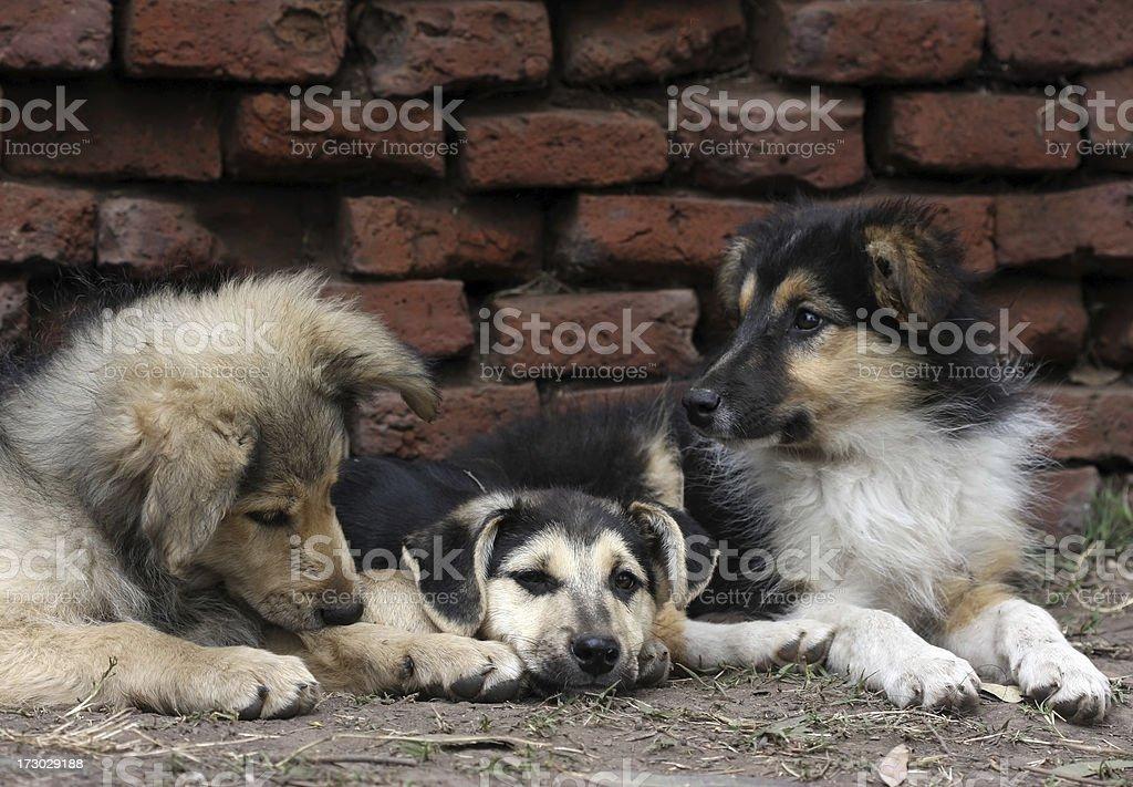 Mixed Breed Puppies royalty-free stock photo