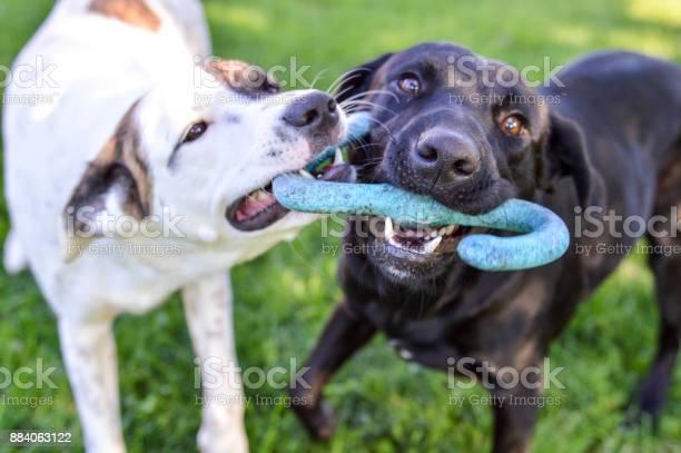 Mixed breed puppy and black labrador retriever playing with a tug of picture id884063122?b=1&k=6&m=884063122&s=612x612&h=ns49vmhsnpry5l9gbqqrcapqphem9mt8j9hiqvvlmcq=
