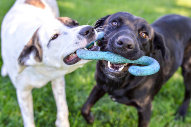 Mixed breed puppy and black labrador retriever playing with a tug of war toy outdoors on a bright summer day stock photo