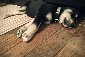Husky and Black Labrador Retriever mixed breed puppy sleeping on a weathered wood floor. Half on and half off a rug.