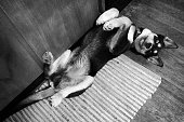 Husky and Black Labrador Retriever mixed breed puppy lying on his back on a weathered wood floor. Photographic effects.
