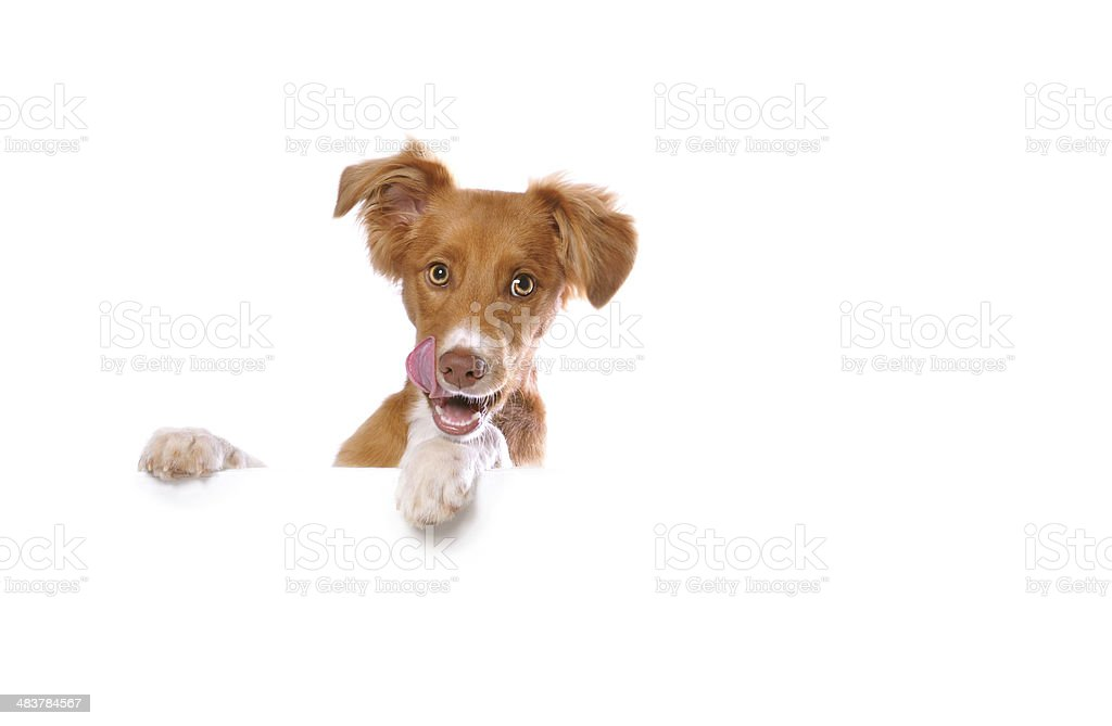 Mixed Breed Puppy Leaning on a Blank White Banner stock photo