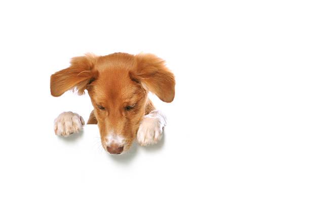 cucciolo di razza mista appoggiarsi su un banner bianco bianco - guardare verso il basso foto e immagini stock