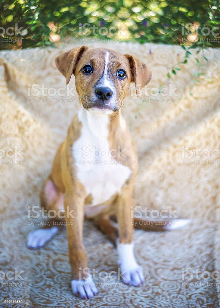 Mixed Breed Puppy Portrait stock photo