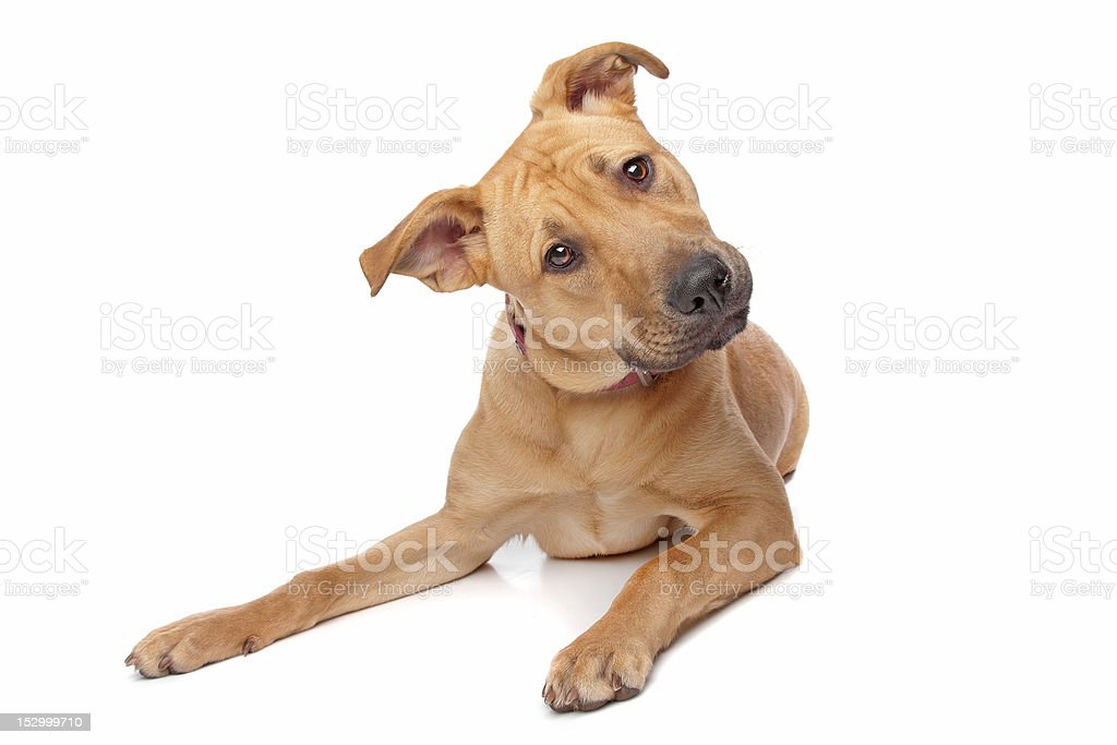 Mixed Breed Puppy Rottweiler Pit Bull Stock Photo More Pictures Of