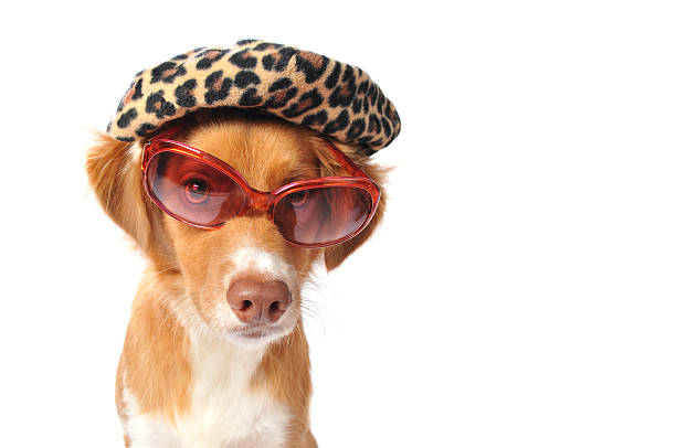 Mixed Breed Puppy Wearing Leopard Hat and Pink Sunglasses Horizontal image of an Australian Shepard mix wearing a leopard print hat and large rose colored sunglasses. The pup has a serious expression and is making eye contact with the camera. This dog has some attitude.  diva human role stock pictures, royalty-free photos & images