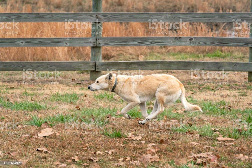 Mixed Breed Ranch Dog running along the pasture fence Oklahoma stock photo