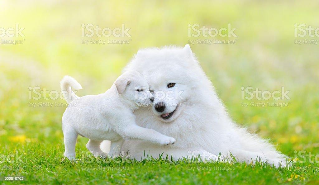 Gemischte Rasse weiße Welpe und Samojeden Hund auf grüne backgroun – Foto