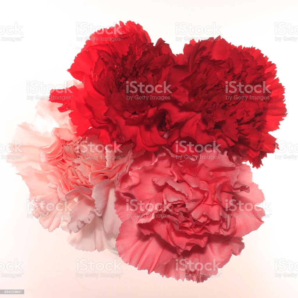 Mixed Carnations Isolated stock photo