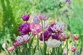 Garden of purple and orange tulips.