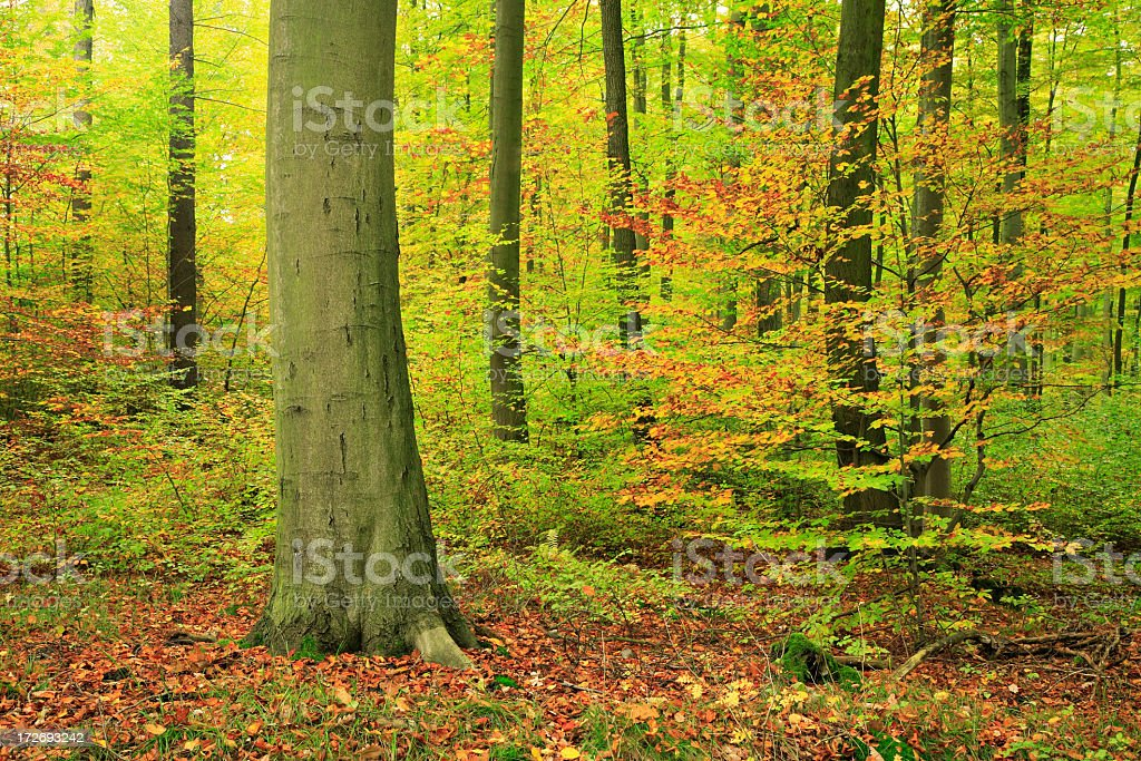 Mixed Deciduous Forest in Autumn royalty-free stock photo