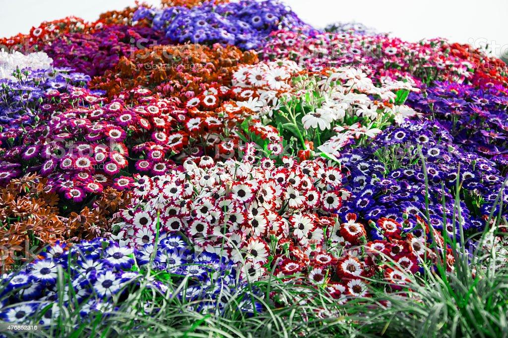 Mixed dianthus stock photo