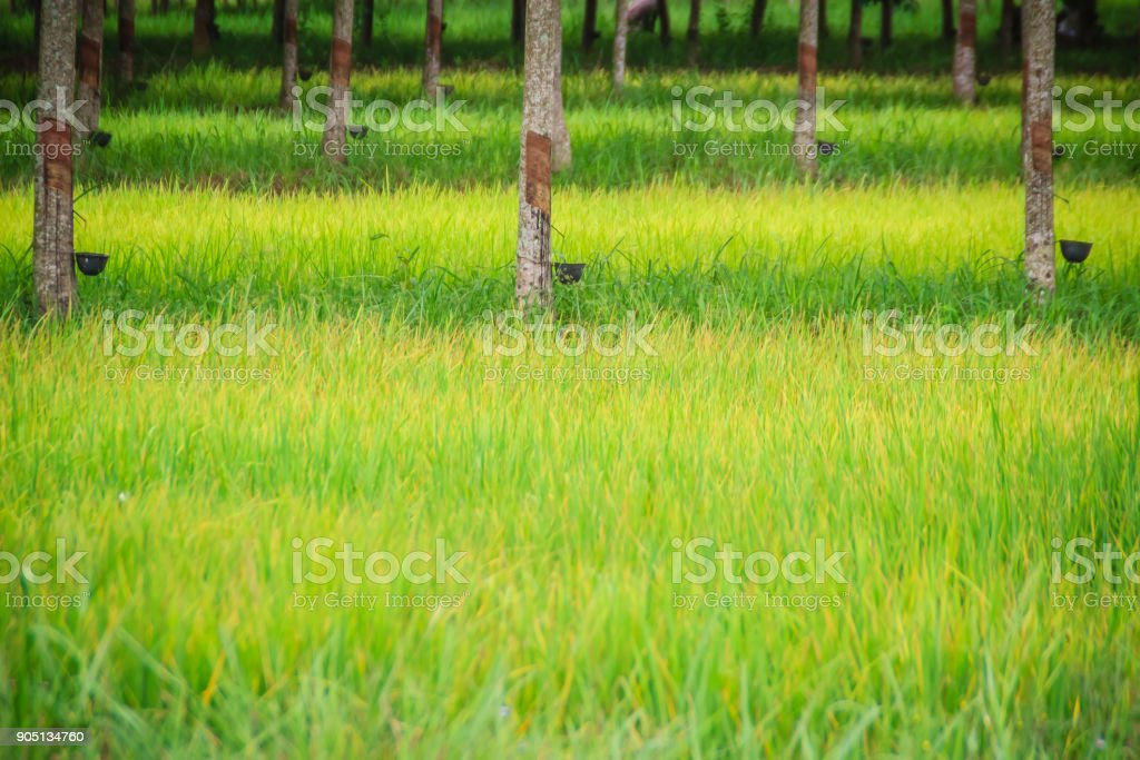 Mixed farming by planting rubber trees in rice fields is agricultural system in which a farmer conducts different agricultural practice together two or more of plants simultaneously in the same field. stock photo