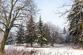 mixed forest with deciduous trees and needles in the winter season, landscape in sunny frosty weather