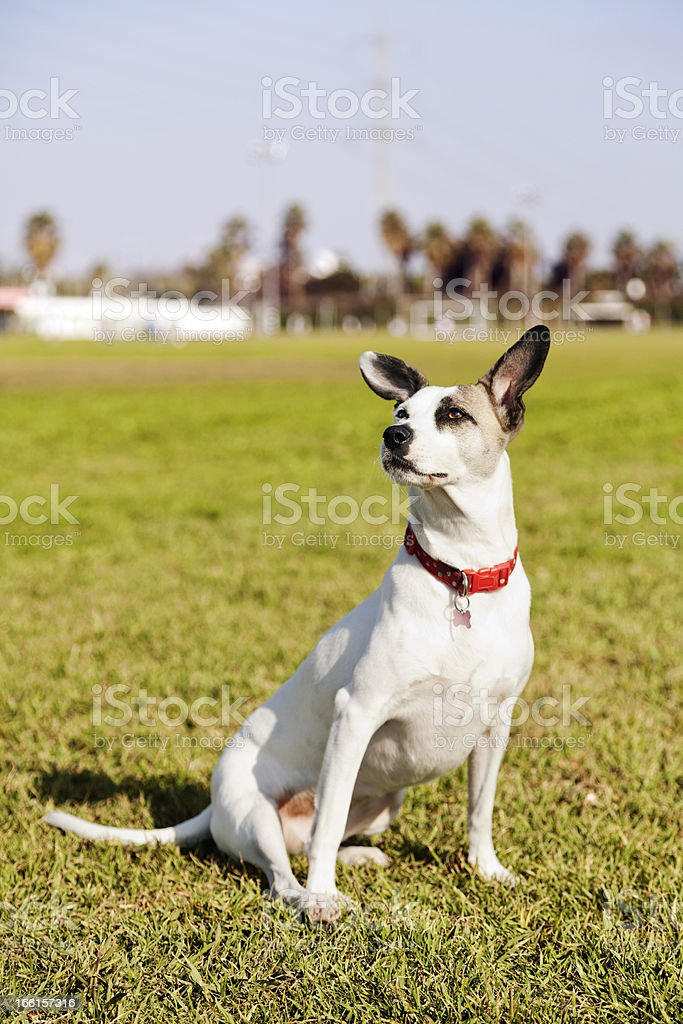 Mixed Jack Russel Portrait in the Park royalty-free stock photo