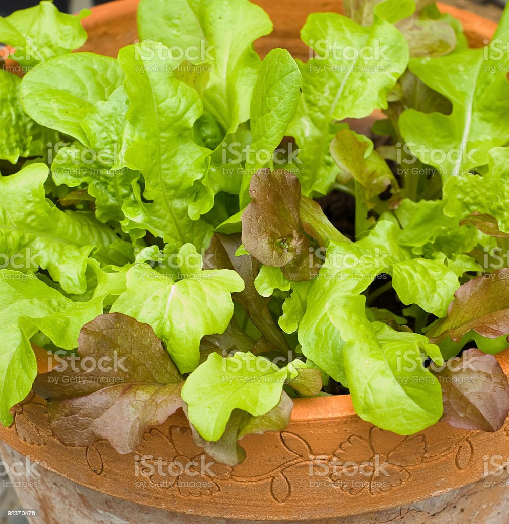 Mixed lettuce leaves in apot royalty-free stock photo