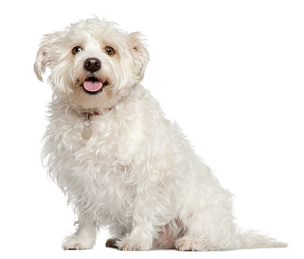 Mixed maltese dog 4 years old sitting picture id530592204?b=1&k=6&m=530592204&s=612x612&w=0&h=fts2 7lqagm0mxxsglrxhcpzvopsfavtdrfbm4brzpe=