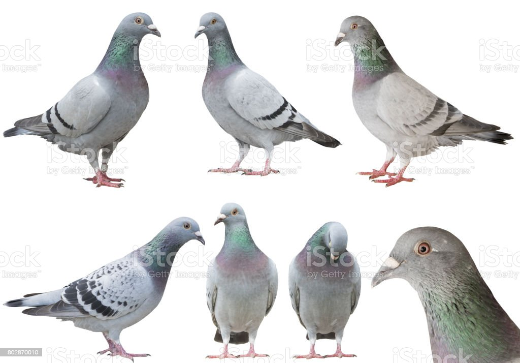 mixed of pigeon bird isolated white background stock photo