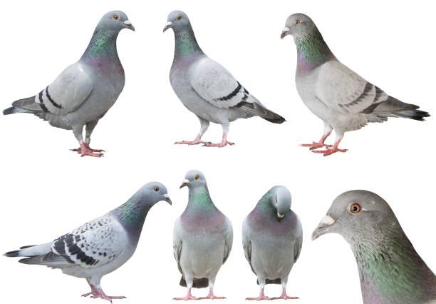 der Taube Vogel isoliert weißen Hintergrund gemischt – Foto
