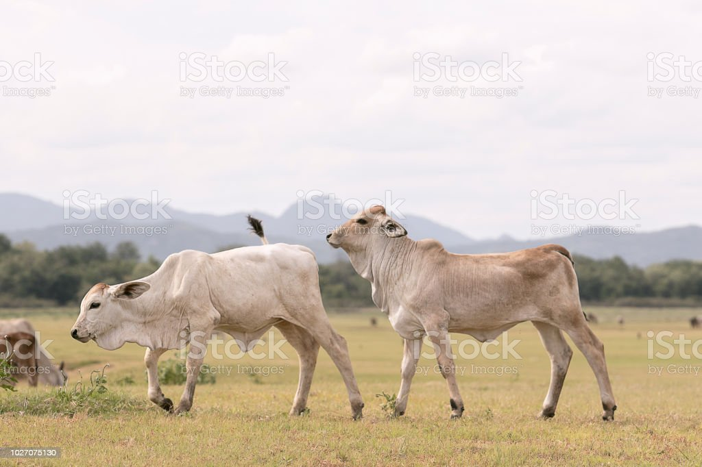 mixed of thai domestic cow in rural field stock photo