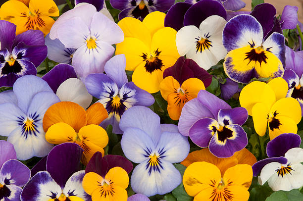mixed pansies stock photo