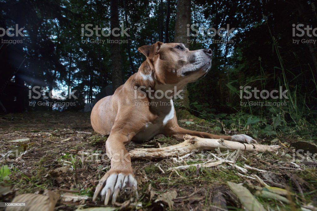 mixed pit bull dog stock photo
