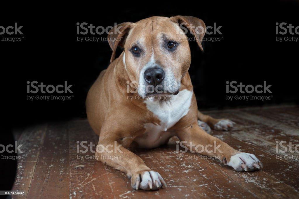 Mixed pitbull dog stock photo