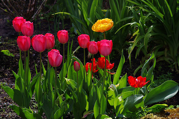 Mixed Tulips in red, pink and yellow.​​​ foto