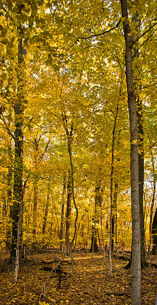Mixed yellow tree species form the alley in autumn park stock photo