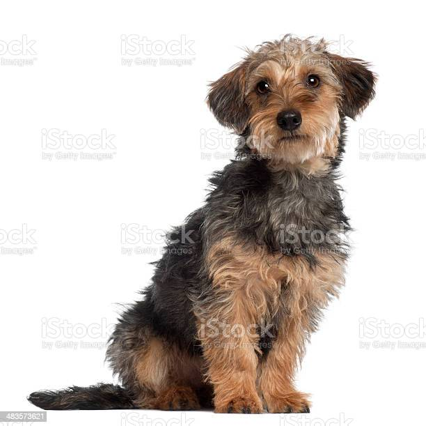 Mixedbreed 10 months old sitting in front of white background picture id483573621?b=1&k=6&m=483573621&s=612x612&h=yervp72hvo 1xglr6aifouh3hd9pxz kx1emyiyexly=