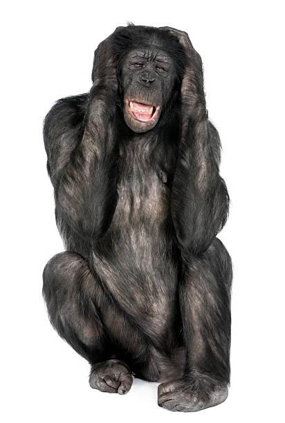 Mixed-Breed between Chimpanzee and Bonobo stock photo
