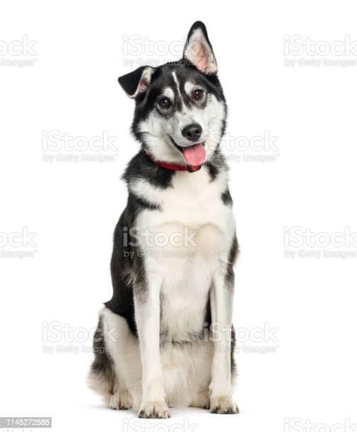 Mixedbreed between siberian husky and labrador retriever sitting in picture id1145272585?b=1&k=6&m=1145272585&s=612x612&h=jqohangg5sssk0syt4vkjhoeix912ngq3ardhdj i2u=