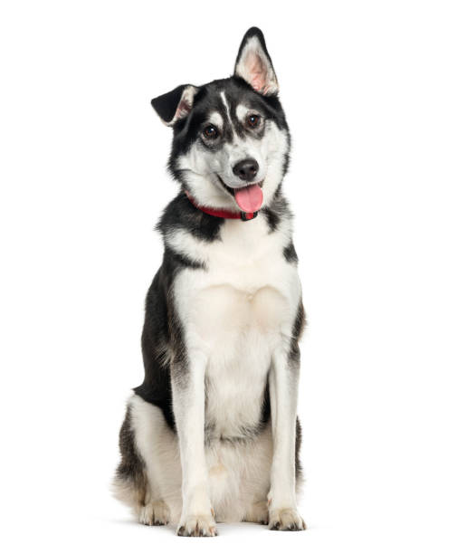 Mixed-breed between Siberian Husky and Labrador Retriever sitting in front of white background Mixed-breed between Siberian Husky and Labrador Retriever sitting in front of white background husky dog stock pictures, royalty-free photos & images